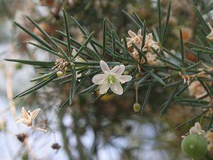 Asparagus Fallax, par Jeffdelonge (CC BY-SA 3.0)
