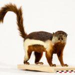 Écureuil de Raffles par EdouardHue, CC-BY-SA